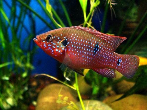 Описание аквариумных рыбок. Хромисы