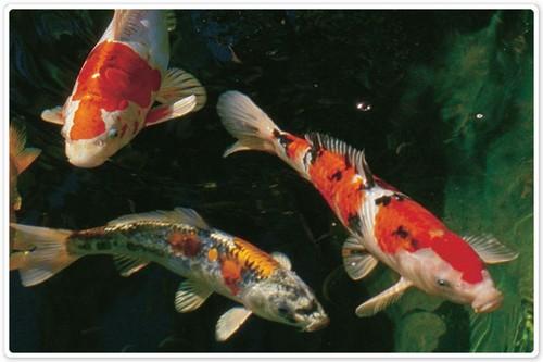 Содержание карпа кои в аквариуме
