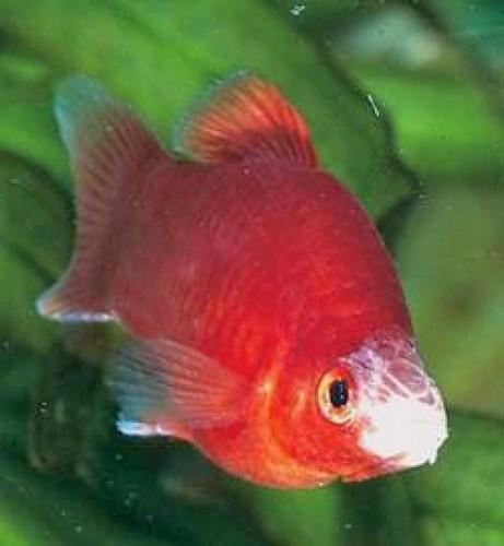 Болезни аквариумных рыбок. Колумнариоз