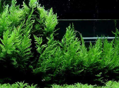Описание аквариумных растений. Болбитис геделоти