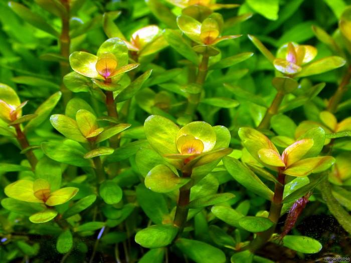 Описание аквариумных растений. Ротала индийская