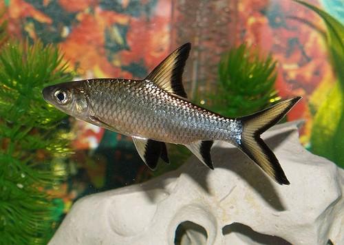 Описание аквариумных рыбок. Акулий балу