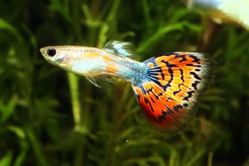 Описание аквариумных рыбок. Гуппи
