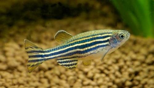 Описание аквариумных рыбок. Данио рерио