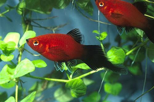 Описание аквариумных рыбок. Пецилии
