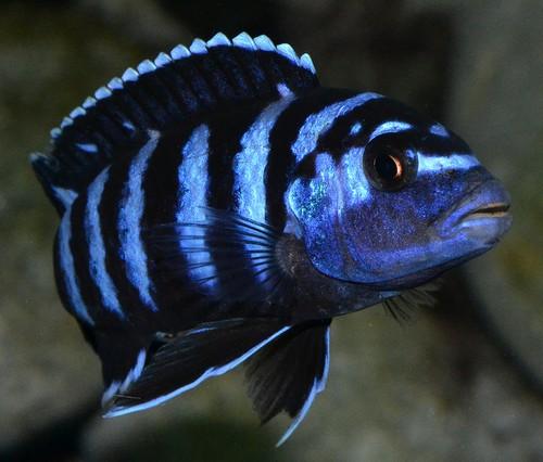 Описание аквариумных рыбок. Псевдотрофеус демасони