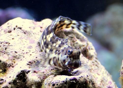 Описание аквариумных рыбок. Рыбы-собачки