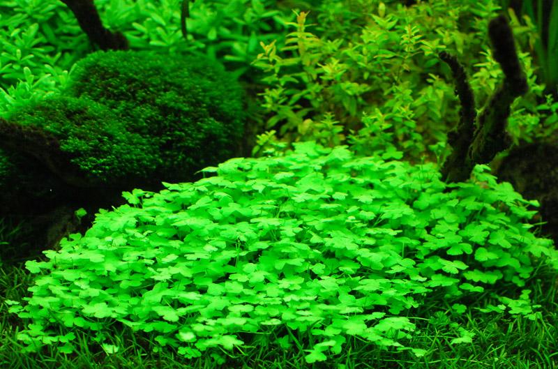 Описание аквариумных растений. Гидрокотила