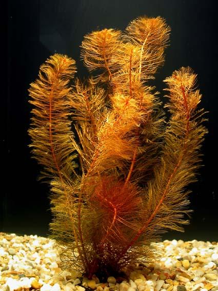 Описание аквариумных растений. Перистолистник красный