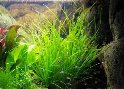 Описание аквариумных растений. Циперус Халфера