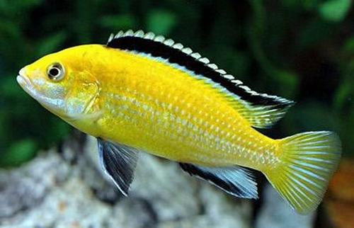 Описание аквариумных рыбок. Еллоу