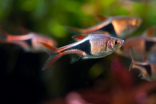Описание аквариумных рыбок. Рыбка расбора