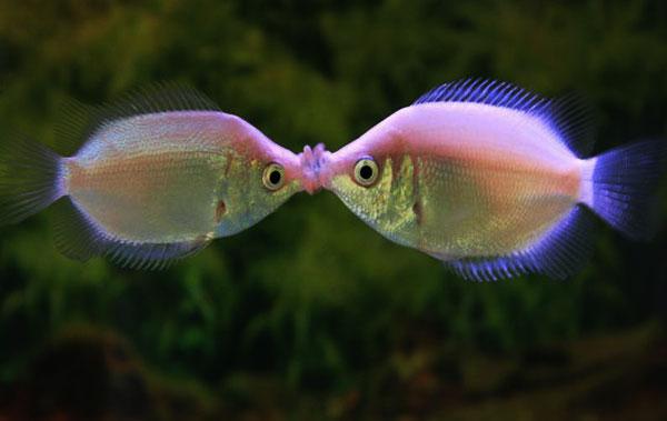 Описание аквариумных рыбок. Хелостома или целующийся гурами