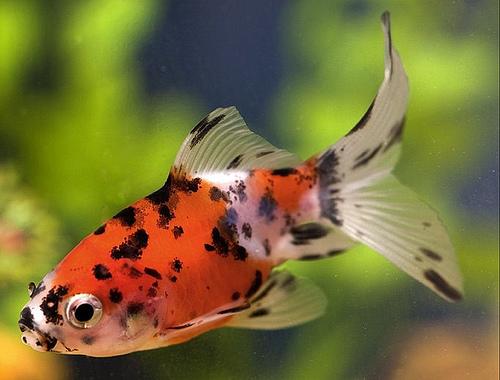 Описание аквариумных рыбок. Шубункин