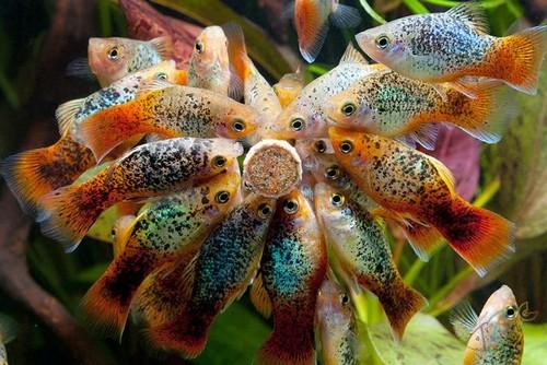 Пецилиевые рыбки
