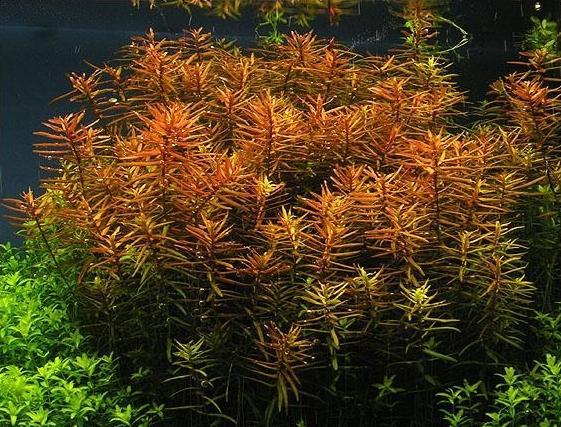 Описание аквариумных растений. Дидиплис