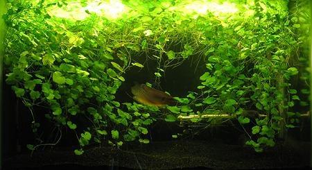 Описание аквариумных растений. Кардамин или сердечник лировидный