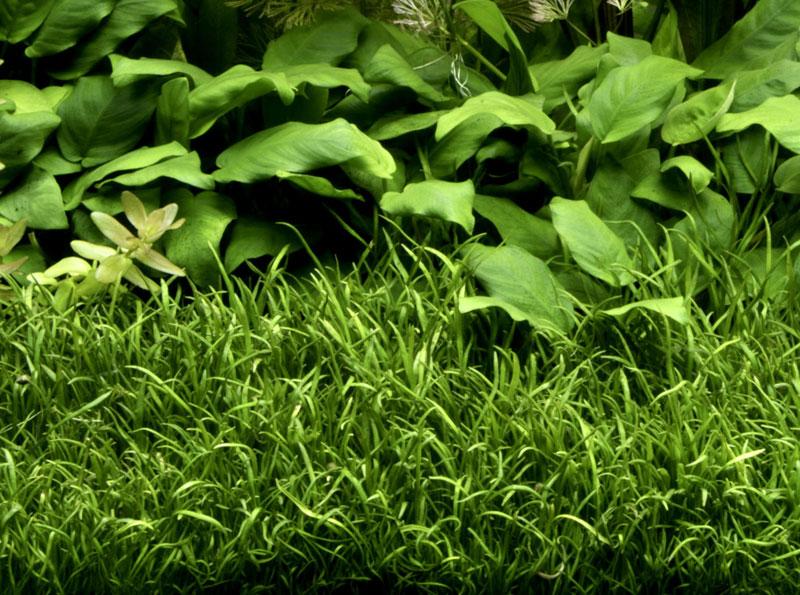 Описание аквариумных растений. Лилеопсис бразильский