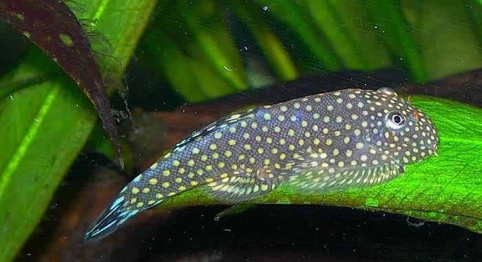 Описание аквариумных рыбок. Гастромизон