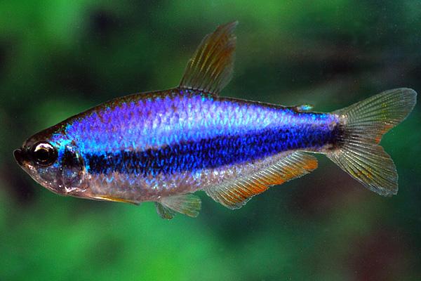 Описание аквариумных рыбок. Керри