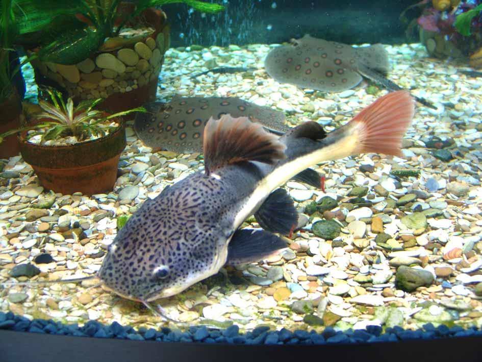 Описание аквариумных рыбок. Краснохвостый сом или фрактоцефалус