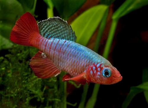 Описание аквариумных рыбок. Нотобранхиус красноплавничный