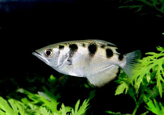 Описание аквариумных рыбок. Рыба-брызгун