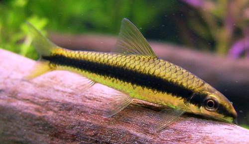 Описание аквариумных рыбок. Сиамский водорослеед