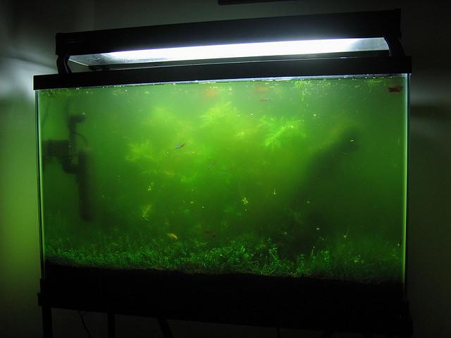 Цветение воды в аквариуме. Что делать