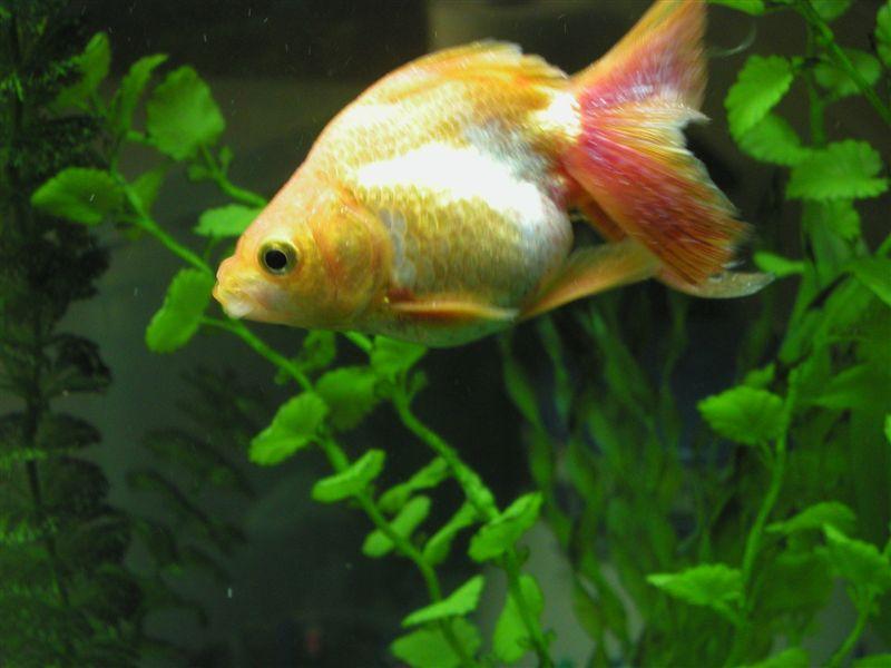 Болезни аквариумных рыб. Ацидемия
