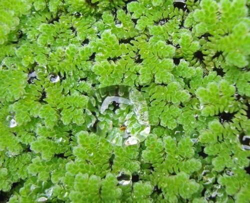 Описание аквариумных растений. Азолла
