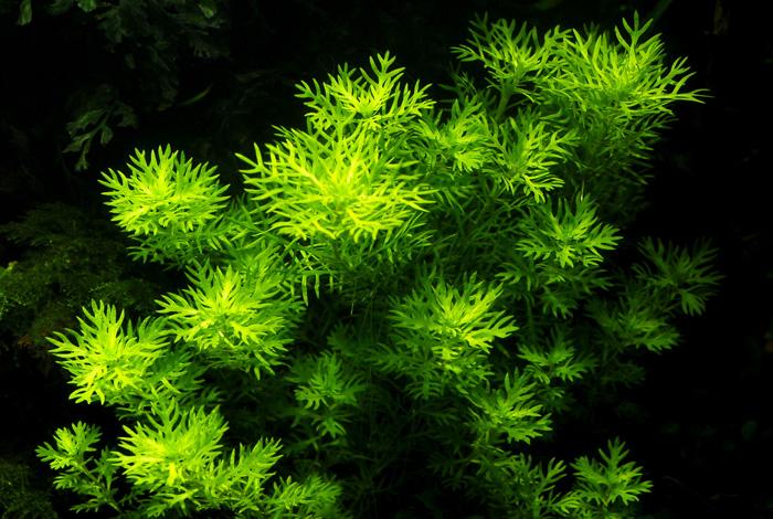 Описание аквариумных растений. Хоттония