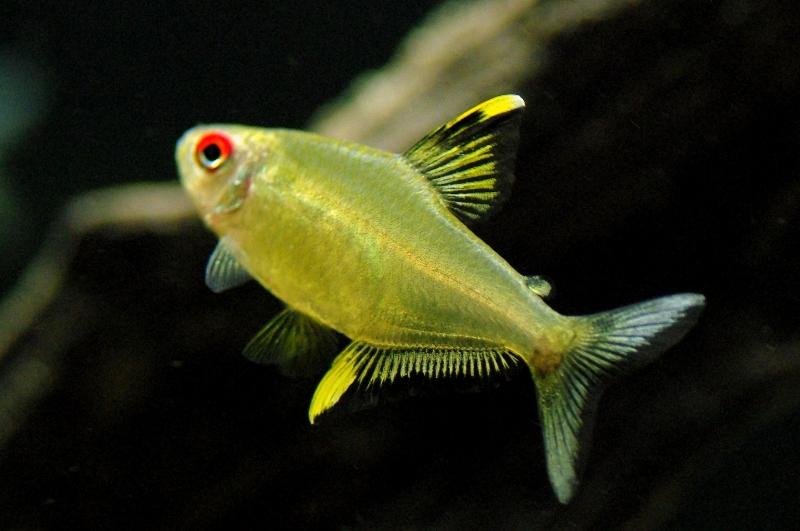 Описание аквариумных рыбок. Пульхрипиннис
