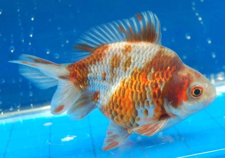 Описание аквариумных рыбок. Риукин