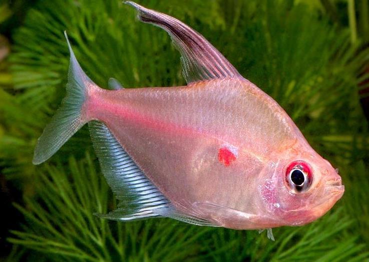 Описание аквариумных рыбок. Рубростигма