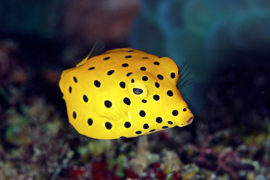 Описание аквариумных рыбок. Рыба коробок