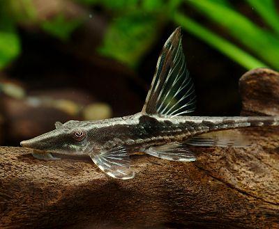 Описание аквариумных рыбок. Стурисома панамская