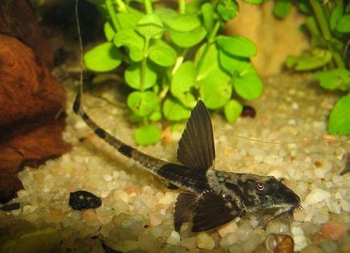 описание аквариумных рыбок. Лорикария