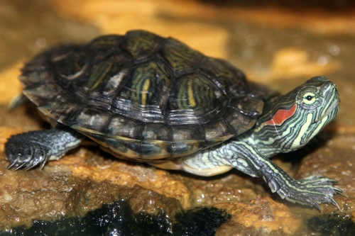 Красноухая черепаха содержание и уход в домашних условиях