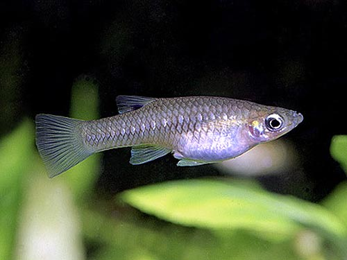 Описание аквариумных рыбок. Альфаро бирюзовый