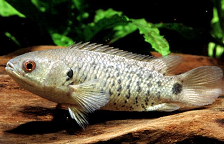 Описание аквариумных рыбок. Анабас