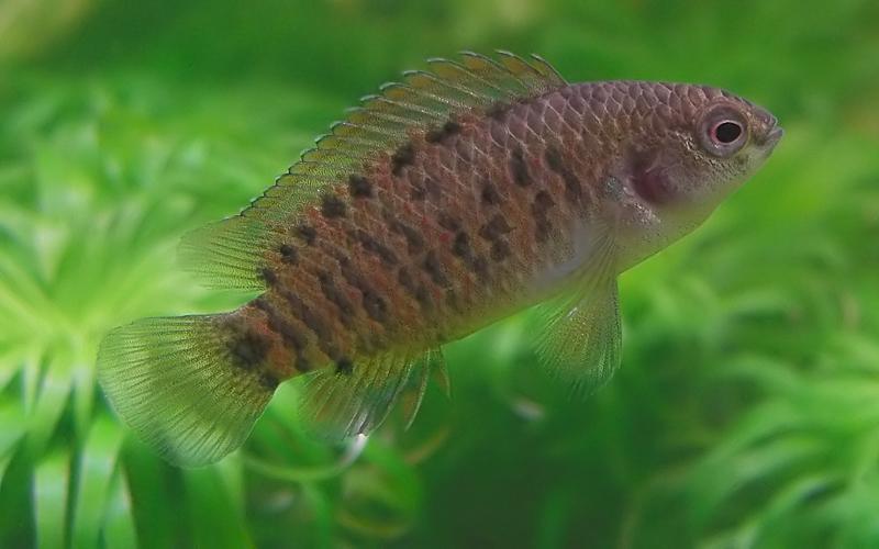 Описание аквариумных рыбок. Бадис