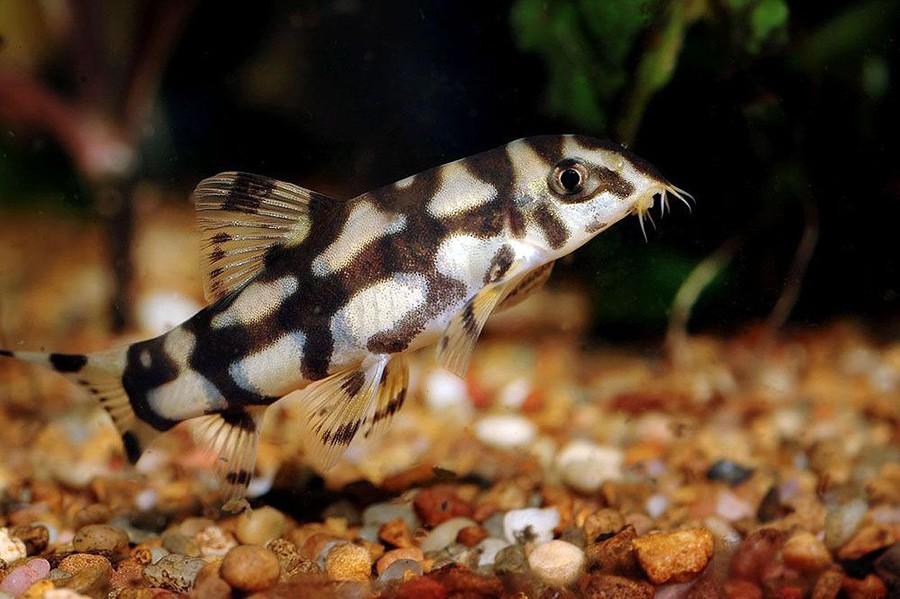Описание аквариумных рыбок. Боция мраморная
