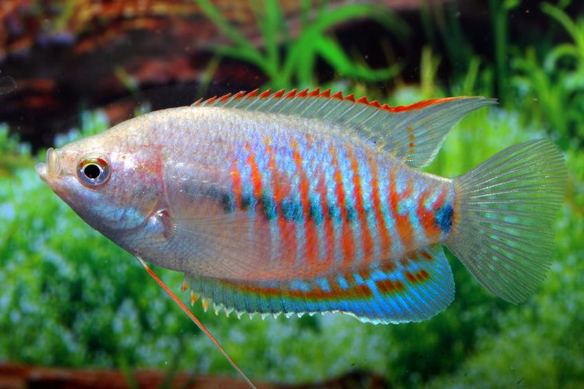 Описание аквариумных рыбок. Лабиоза