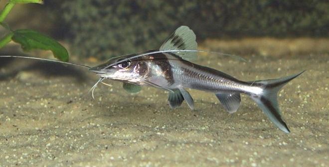 Описание аквариумных рыбок. Пимелодус узорчатый