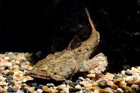 Описание аквариумных рыбок. Хака или сом-лягушкорот