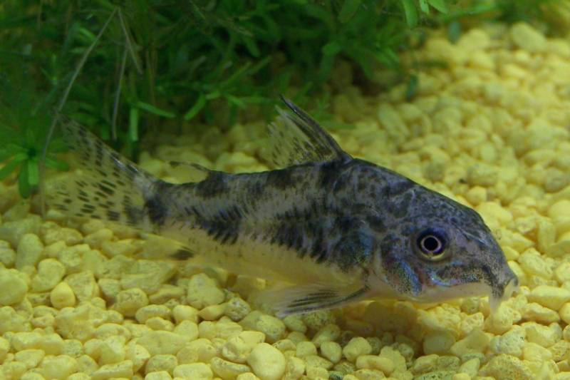 Размножение крапчатых сомиков в домашнем аквариуме