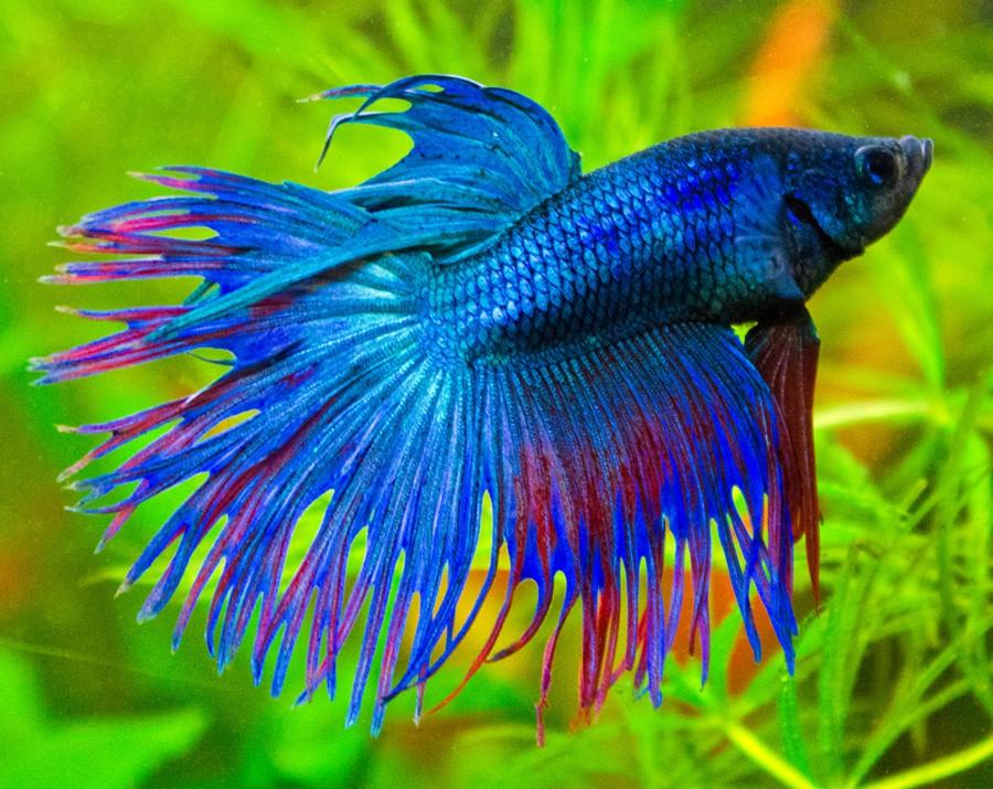 Рыбка петушок. Уход и содержание