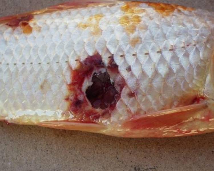 Болезни аквариумных рыб. Аэромоноз. Симптомы и лечение