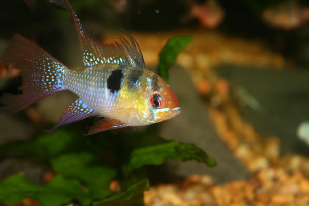 Болезни аквариумных рыб. Гексамитоз